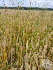 Selbst angebautes Bio-Getreide